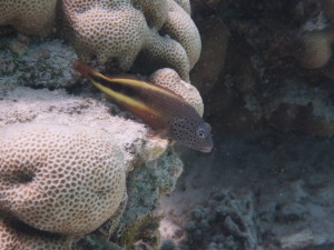 A fish swimming in the reef