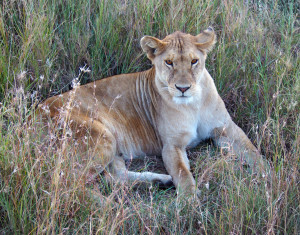 Lioness taking a rest