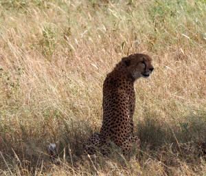 A cheetah looking for prey