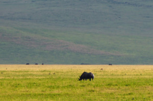 A Black Rhinoceros in the distance