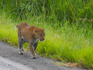 A Leopard walking down the highway
