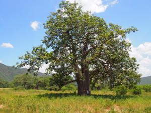 Hugging a Baobab Tree