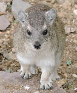 Rock Hyrax - known as a Dassie in South Africa