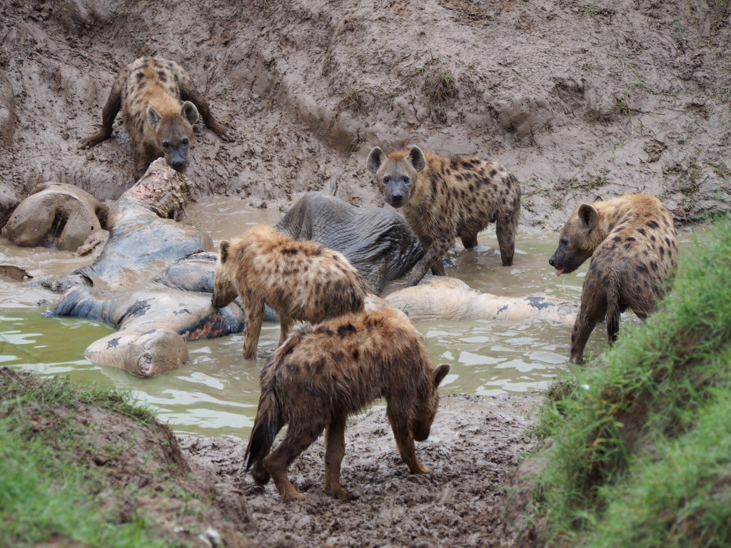 Pack of Hyenas eating a dead elephant