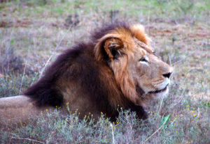 Lion in Addo National Park