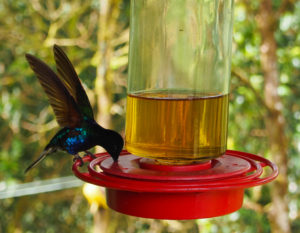 Hummingbird Feeding at Mindo Loma Cloud Forest