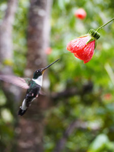 Hummingbird feeding from a flower while in flight