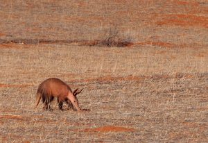 Aardvark searching for ants