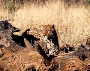 Leopard at AfriCat in Okonjima