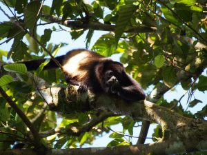 Howler Monkey in the canopy